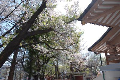 Sakura_003_400