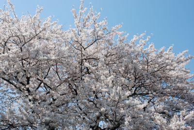 Sakura_009_400